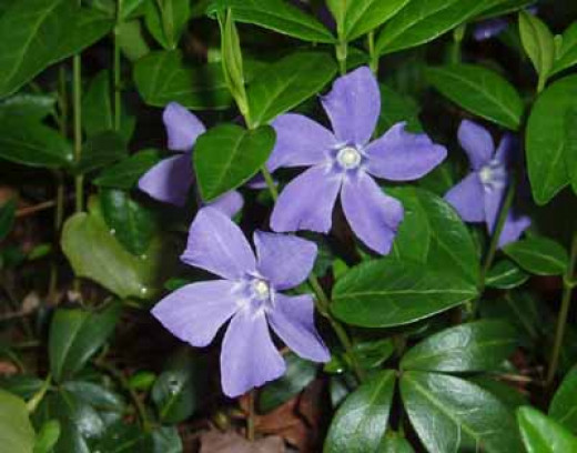 The life-saving periwinkle.