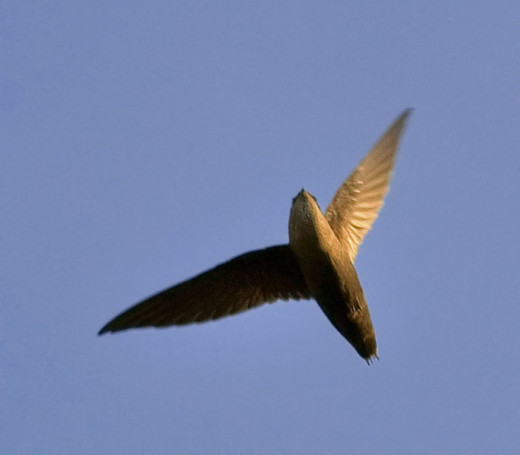Chimney swift migration is tracked by birdwatchers fed into websites that compile real time data