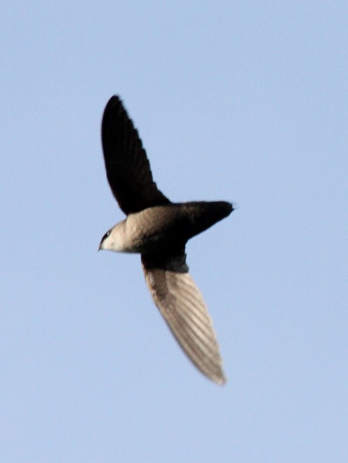 Chimney Swift may be sweeping for insects.