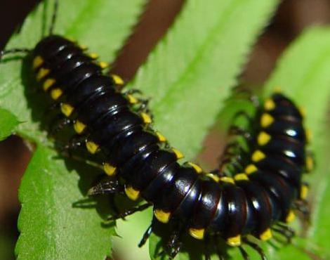 black millipede non poisonous