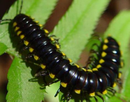 black millipede non poisonous