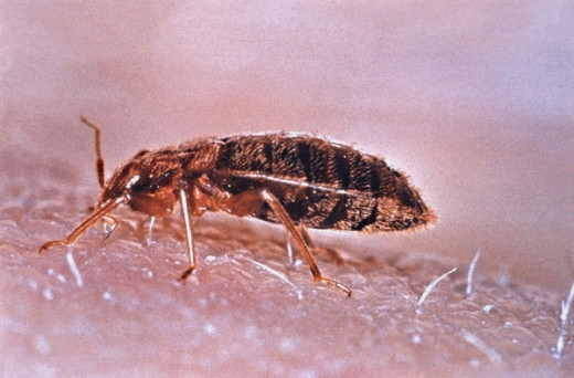 Bedbugs are a curse that is spreading worldwide