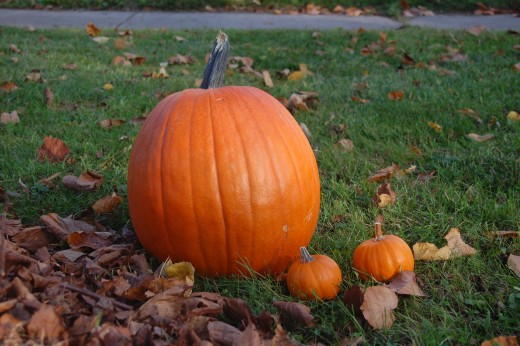 One large pumpkin with nice stem and two baby pumpkins, sitting in yard with dried leaves.