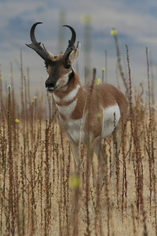 A nice western Utah pronghorn buck.