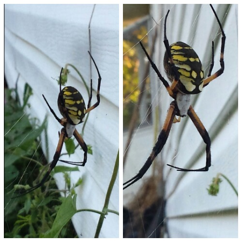 Argiope Aurantia (Black & Yellow Garden Spider) Taken In My Backyard With Galaxy S4 Camera