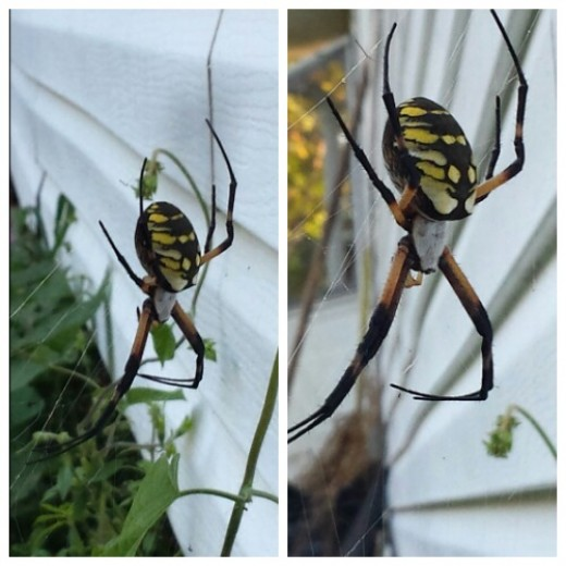 Argiope Aurantia (Black & Yellow Garden Spider) Taken In My Backyard With Galaxy S4 Camera