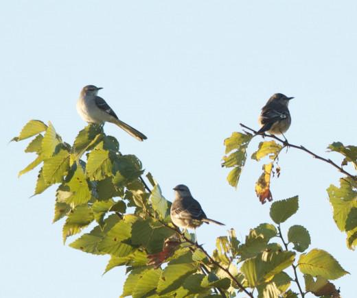 Three Northern Mockingbirds