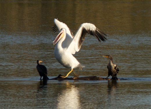 American White Pelican with Double-crested Cormorants
