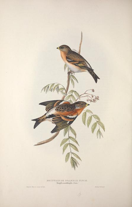 Birds of Europe Gould {          }