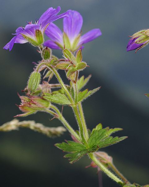 Creative Commons Attribution Share Alike 3.0 unported license. Geranium sylvaticum was the first plant  that Sprengel studied.