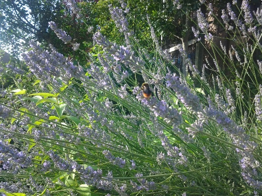Lavender has calming properties and will attract bees to the garden
