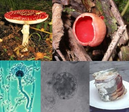 Clockwise from top left: Amanita muscaria, a basidiomycete; Sarcoscypha coccinea, an ascomycete;  bread covered in mold;  a chytrid;  an Aspergillus conidiophore