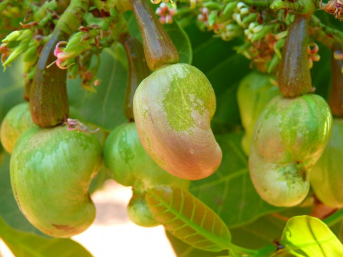 The cashew plant.