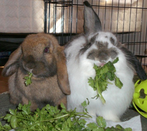 Rabbits enjoying cilantro.