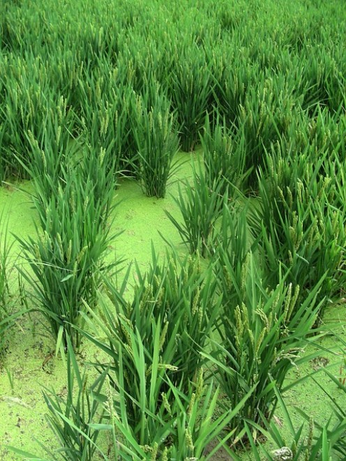 Rice plants. Try wild rice or brown rice with this recipe.