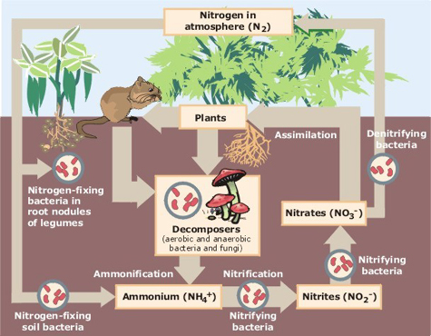 "The Nitrogen cycle showing the role played by ""decomposers"" like woodlice."