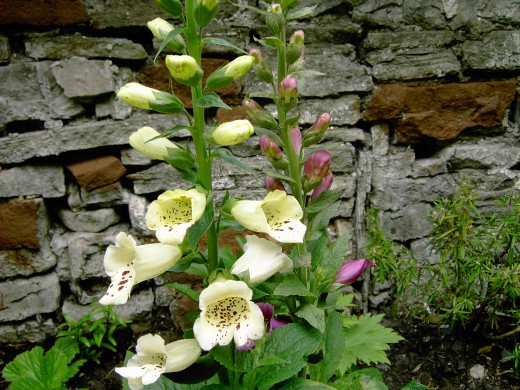 The bell-shaped flowers of the Foxglove are designed to allow entry for bees only.