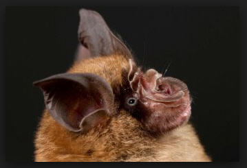The Horseshoe Bat
