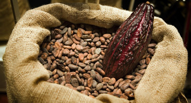 Cacao beans and cacao pod in which the beans are enclosed.