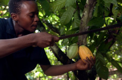 Chocolate farm in Africa.  Harvesting the cacao pods and beans.