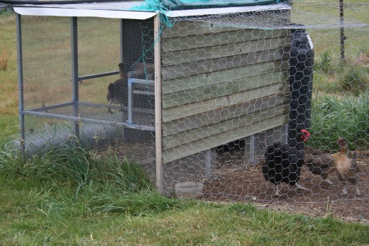 This small chicken house holds our larger hens at night. The structure is mainly metal and wire - with a wooden side facing the direction of winds and bad weather. Some of the smaller hens also choose to stay in this particular chicken house.