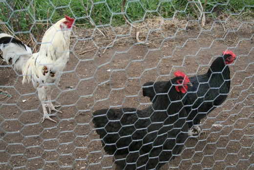 The hens have a run attached (covered with wire mesh to stop them escaping), and can reach it via a small opening beneath the wooden wall. Room to stretch their legs and access water early in the mornings.