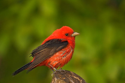 Scarlet Tanager, wet, tired male. Image copyright 2004 Arthur Morris/BIRDS AS ART