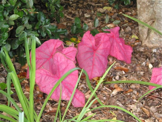 Caladiums grow indoors in pots as well as outdoors in gardens. They are mildly poisonous. The photo shows the Fannie Munson variety of the plant.
