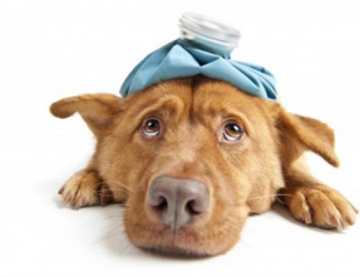 Sick Dog.  Retrieved from Google Images November 1st, 2013.