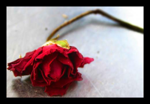 rose via morgueFile
