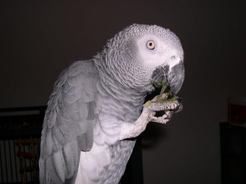 Congo African Grey Parrot, eating a Seedless Grape.