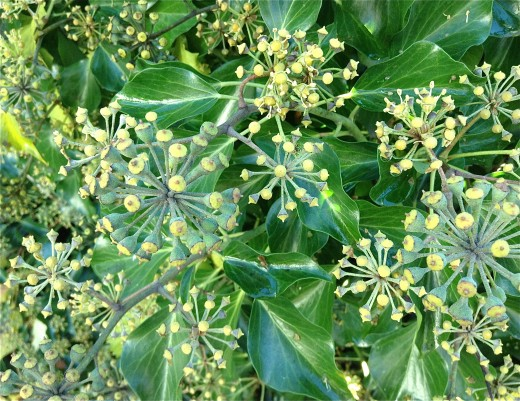 English ivy flowers and the leaves of the flowering stems