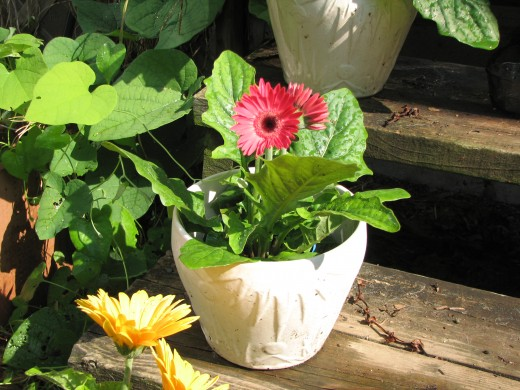 Gerbera Daisies a perfect flowering plants for a deck or balcony.