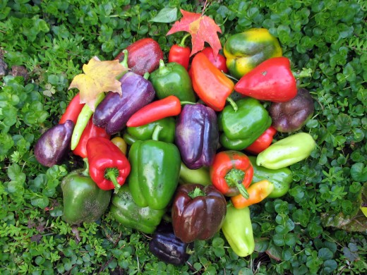 "Just about any kind of sweet or hot pepper will do well in a pot in a sunny location.  Choose a pot that it is at least 10"" in diameter."