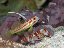 The Blind Shrimp and the Goby - A Haiku