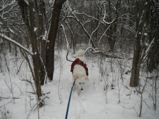 K2 negotiates a snow covered dormant forest at Bruce Trail near Brampton.