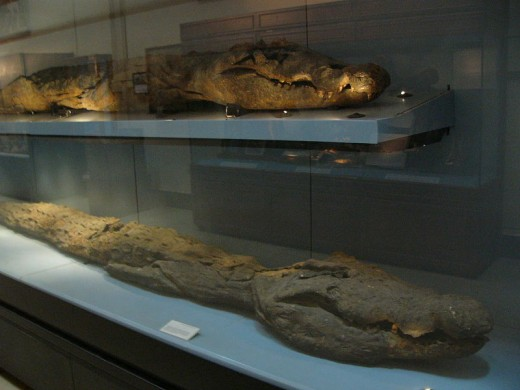 Mummified crocodiles at the Cairo Museum, showing just how sacred this animal was to the ancient Egyptians.
