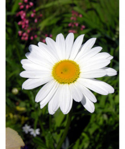 100 FREE DAISY PHOTOS, DRAWINGS, CLIPART | Free Images of Daisies and Fun Facts