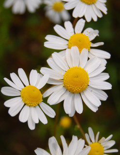 Chamomile, Soothing Abilities