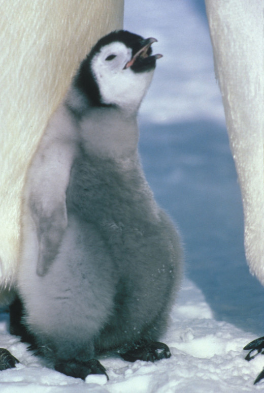 Cute baby penguin--wikimedia commons