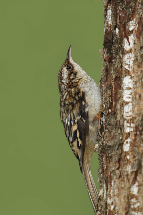 The Brown Creeper (Certhia americana), also known as the American Tree Creeper, is a small songbird, the only North American member of the tree creeper family Certhiidae. Observed in Coastal Southern Alaska.