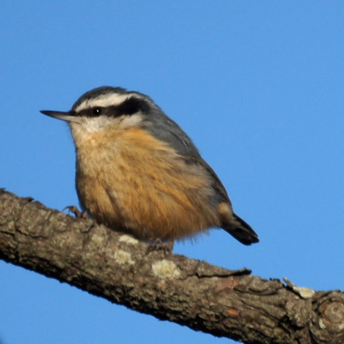 Red-breasted Nuthatch foraging on a small branch.