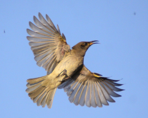 Brown Honeyeater hawking for insects. Kooragang Island, Newcastle, NSW Australia
