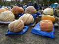 How to Grow Giant Pumpkins