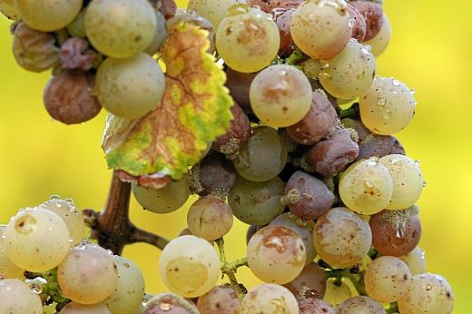 These Riesling grapes are affected by noble rot which will make them very sweet. (Photo by Tom Maac Creative Commons attribution share alike)