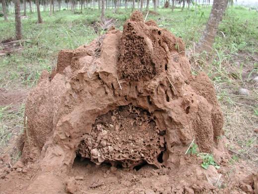 Termite Nest / Mound