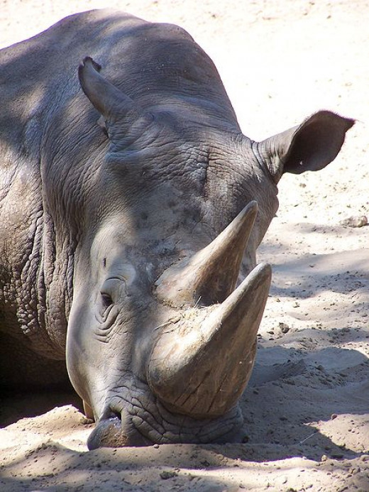 The use of rhino horns as aphrodisiac puts them in great peril