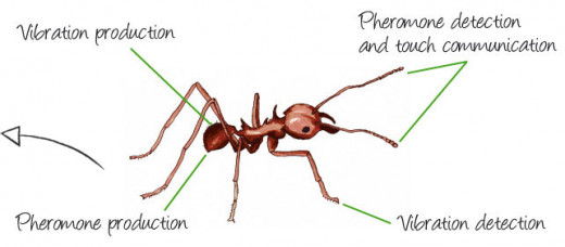 Communication in ants