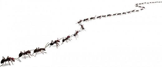 Ants using pheromone