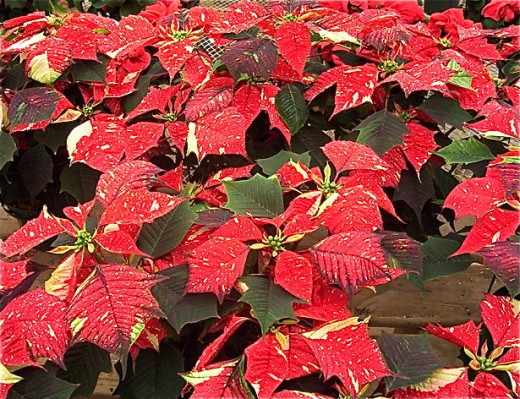 A marbled poinsettia